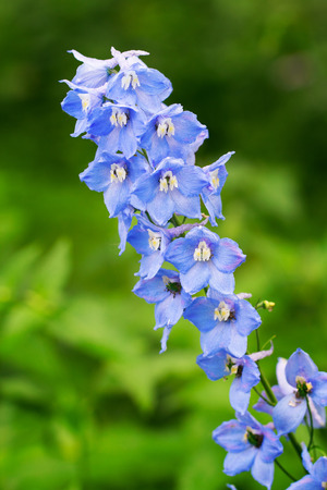 breen: Blue delphinium growing outdoors over breen blurry background