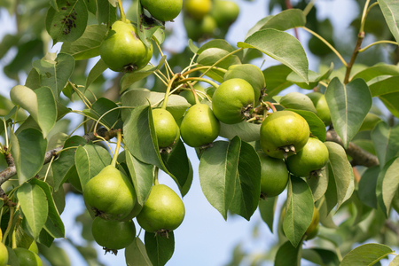 ample: Green fresh pears growing on the tree in early July under the rays of evening sun