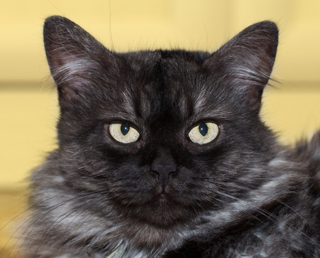 Gray turkish angora cat looking annoyed by his owner