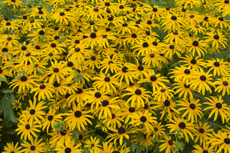 coneflowers: Multiple yellow coneflowers in a garden