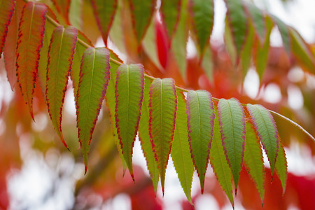Green and red autimnal leaves of Sumac. Sumac is used as a spice in  Middle Eastern cuisine.