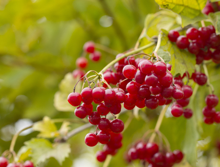 Red berries of viburnum (Adoxaceae) growing outdoors in late October. Viburnum is use as a cure against coughing and flu. Stock Photo