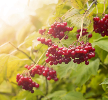 guelder rose berry: Red berries of viburnum (Adoxaceae) growing outdoors in late October. Viburnum is use as a cure against coughing and flu. Stock Photo