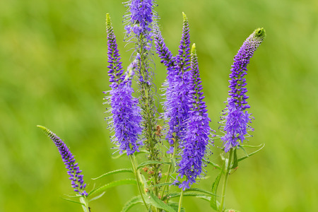 Veronica spicata (spiked speedwell; Pseudolysimachion spicatum) is a species of the genus Veronica. Also known as Royal Candles Veronica Stock Photo