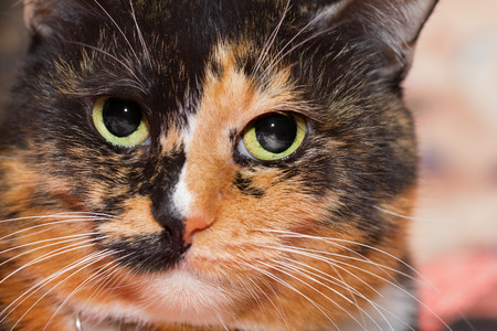 ojos verdes: Closeup portrait of a three colored cat with evil gaze and green eyes