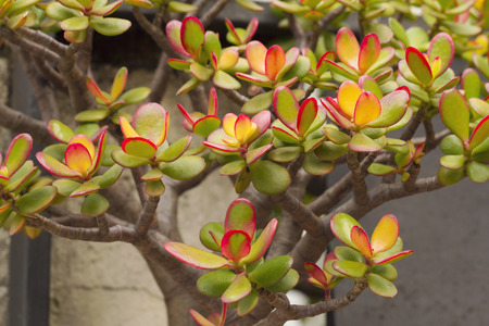 crassulacea: Crassula ovata, commonly known as jade plant, friendship tree, lucky plant, or money tree, is a succulent plant with small pink or white flowers. It is native to South Africa and Mozambique, and is common as a houseplant worldwide.