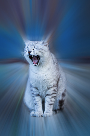 Drowsiness concept: gray cat yawning. The effect is emphasized by motion blur.