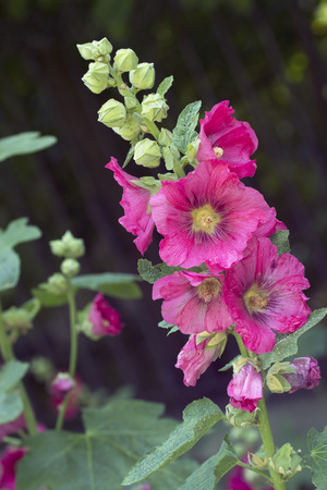 Red mallow, also known as hollyhock in the garden