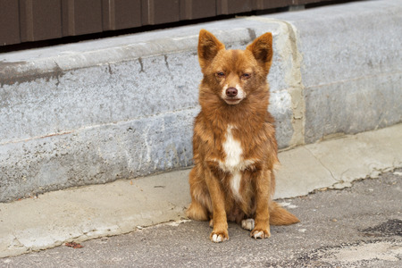 Little fluffy red homeless dog looking annoyed while sitting on the street Stock Photo