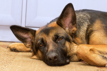 Shepherd dog indoors lying on the carpet and attentively listening to the owner. Stockfoto