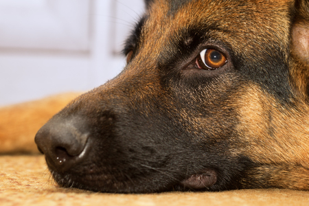 Closeup of a iodide colored shepherd dog lying on the carpet at home and watching the owner.