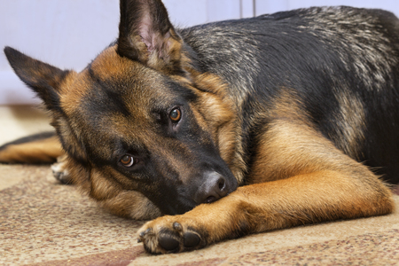 Gaze of an annoyed shepherd dog lying on the carpet indoors.