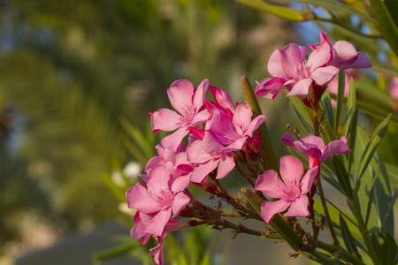 Blooming pink nerium oleander in late summer, Turkey. Stock Photo