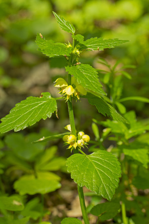 Perennial, re-flowering plant called dead-nettle growing in forest.