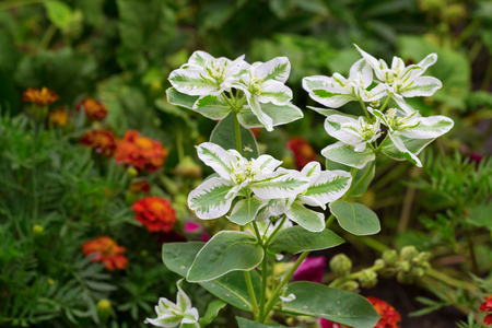 Long-flowering white-green plant called spurge growing in garden from august till frost