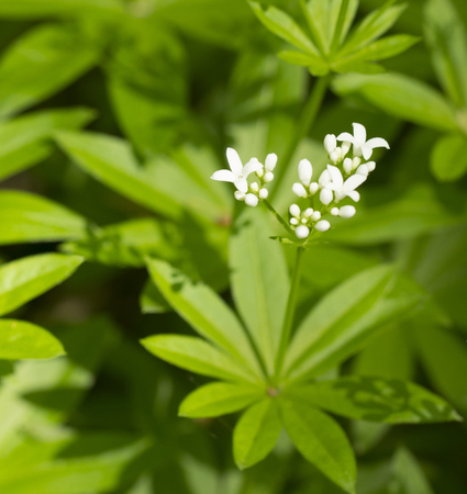 bedstraw, is a flowering perennial plant, native Europe from Spain and Ireland to Russia, Western Siberia, Turkey, Iran, the Caucasus, Japan and China