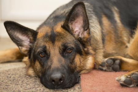 Portrait of a lying german shepherd dog lying on the carpet indoors  Stock Photo