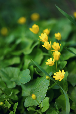 Closeup of yellow desser celandine flowers in grass in early spring