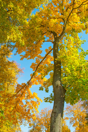 Beautiful autumnal tree with yellow and green foliage in October