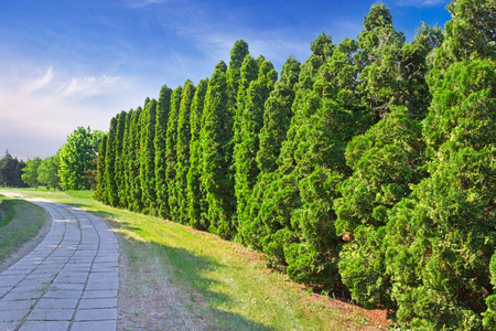 A row of green cypress trees in the park. Cupressus is one of several genera within the family Cupressaceae that have the common name cypress