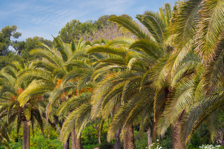 Many palm trees on the street of Barcelona, Spain