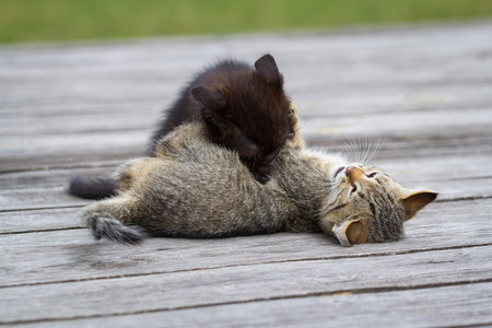 Two little cute kittens playing and biting each other outdoors Stock Photo