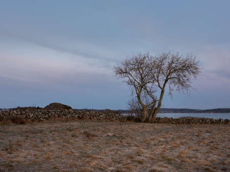 Single tree and a stone boulder fence. Shot in early morning light. There is frost on the ground and the sea in the background.