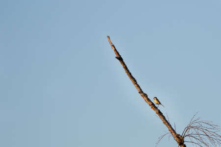 Small bird climbing up a branch on a tree against a blue sky with negative space for text Zdjęcie Seryjne
