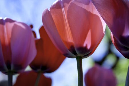 pink tulips: Pink Tulips in the Sunlight, From the Bottom Up Stock Photo