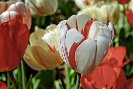 White and Red Tulips Among Other Tulips Reklamní fotografie