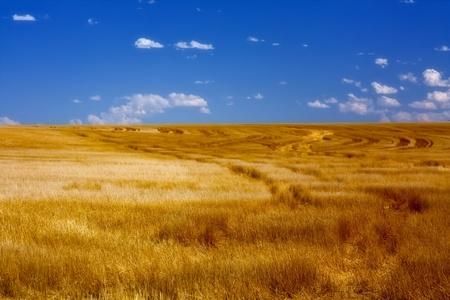 Wheat Fields on Sunny Summer Day