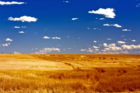 Summer Wheat Fields in Colorado Stock Photo