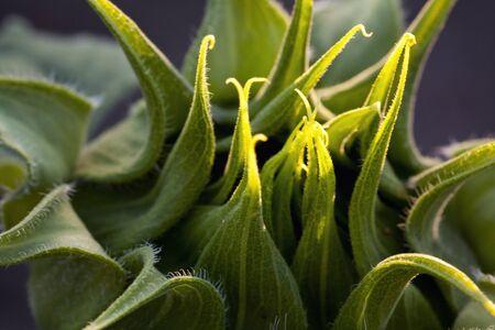 Sunflower Bud Stock Photo - 13451868
