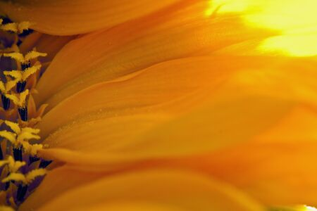 Sunflower Petals Stock Photo - 13451873