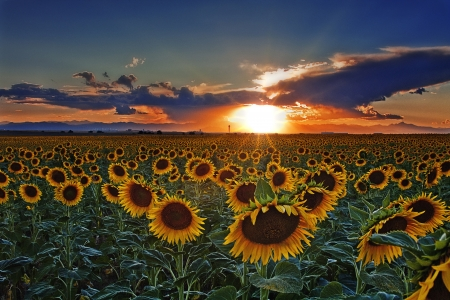 Sunset of Colorado Sunflower Field Near Denver International Airport