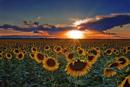 Sunset of Colorado Sunflower Field Near Denver International Airport