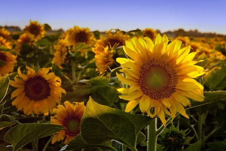 Tournesol, rayonnant dans le soleil