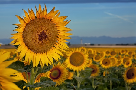 Large Sunflower at Sunrise in Sunflower Field photo