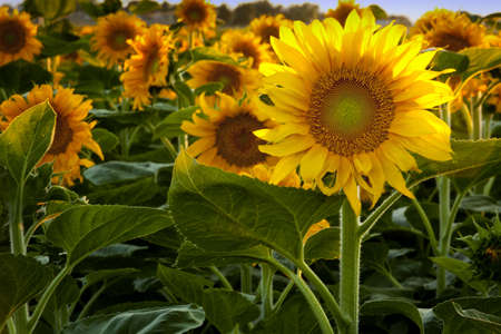 Sunlit Sunflower Stock Photo - 13451833