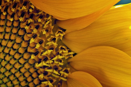 Sunflower Petals with Inside of Sunflower photo