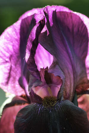 back lit: Back Lit Dark Purple Iris Close Up