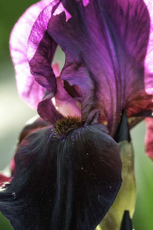 Back Lit Dark Purple Iris photo
