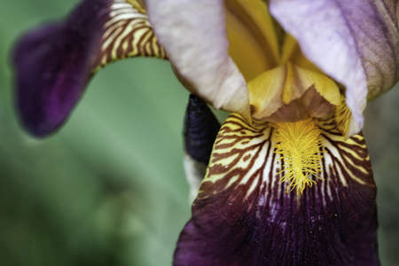 Purple, Light Purple and Yellow Iris photo