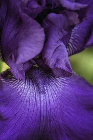 Dark Purple Iris photo