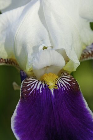 Dark Purple, White and Yellow Iris Close Up