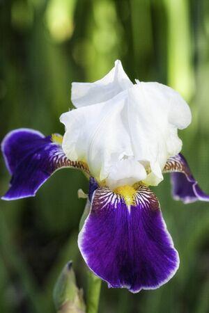 Pourpre foncé, blanc et jaune Iris Flower
