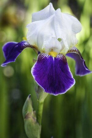 Dark Purple, White and Yellow Iris Flower with Stem