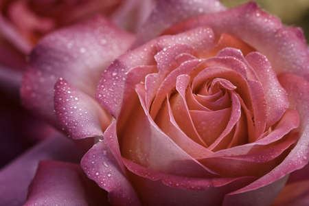 Pink Rose with Water Droplets photo