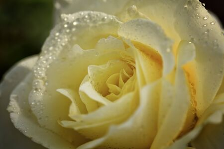 Light Yellow Rose with Water Drops