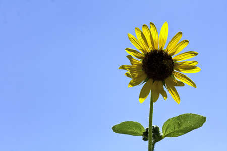 Single sunflower with clear blue skies on right photo